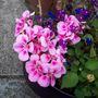 another geranium :-)