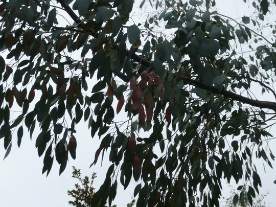 2nd Mystery Tree Branch - some leaves changing colour