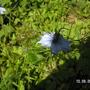 Nigella (Nigella damascena (Love-in-a-mist))