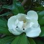 Magnolia grandiflora 'Exmouth' - 2009 (Magnolia grandiflora 'Exmouth')