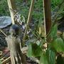 front porch - swedish ivy (plectranthus australis)