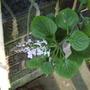 swedish ivy - closeup (Plectranthus australis)