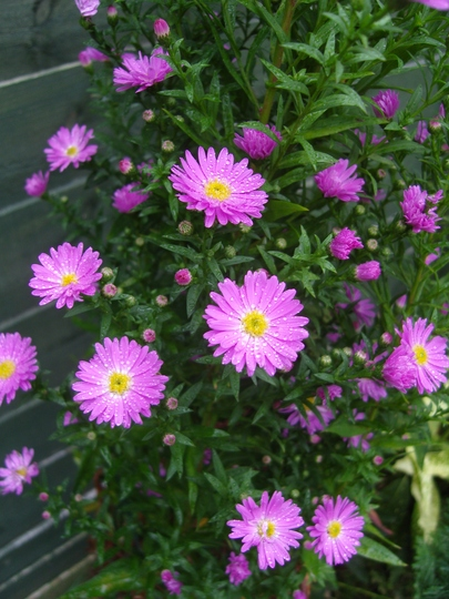 Pink Asters.