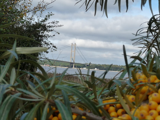 Sea Buckthorn....with Humber Bridge