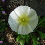 Iceland Poppy.