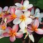 Plumerias in Bloom