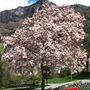 magnolia (magnolia)