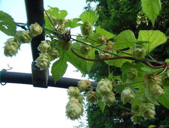 Humulus lupulus 'Aureus' (Humulus lupulus 'Aureus')