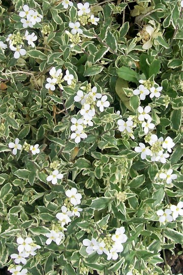 rock cress - full bloom (Arabis alpina 'varigata' (Alpine Rock-cress))