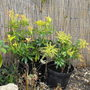 2 Pieris Shrubs @ Different Growing Stages?