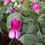 Bush Fuchsia Mojo 'Violet Pastel Delight'