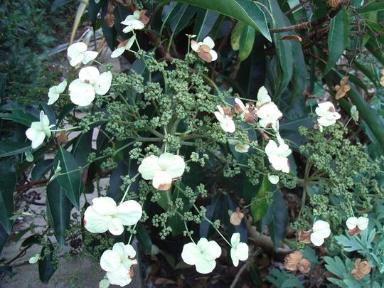 Hydrangea serratifolia (Hydrangea serratifolia)