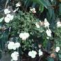 Hydrangea_serratifolia