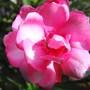 Oleander_001