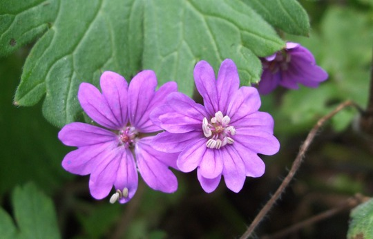 Geranium 'Bill Wallis' - for Bonkersbon! (Geranium pyrenaicum (Hedge Cranesbill))