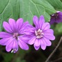 Geranium 'Bill Wallis' - for Bonkersbon! (Geranium pyrenaicum (Hedge Cranesbill))