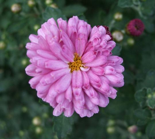Chrysanthemum 'Mei Kyo' (Chrysanthemum)