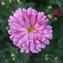 Chrysanthemum_mei_kyo_