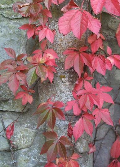 Parthenocissus henryana gone red! (Parthenocissus henryana (Chinese Virginia creeper))