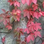 Parthenocissus henryana gone red! (Parthenocissus henryana (Chinese Virginia creeper))