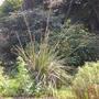 Stipa Giganteus (Miscanthus giganteus)
