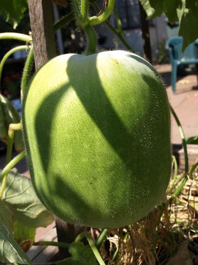 Chinese winter melon
