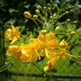 Caesalpinia pulcherrima 'flava' - Yellow Bird-of-Paradise Shrub Flowers (Caesalpinia pulcherrima 'flava' - Yellow Bird-of-Paradise Shrub)