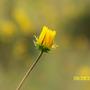 Wildflowerbud