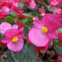 My Pink Begonias