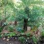 Back_of_Antipodean_border_tree_fern_with_acacia.jpg