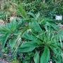 Echium_Pininana__canary_palm__salvia.jpg