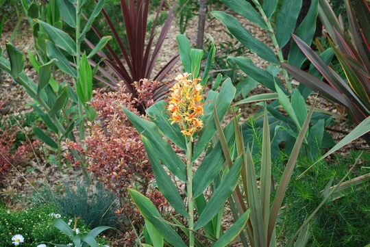 Hedychium_tara_1.jpg