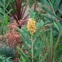 Hedychium_tara_1