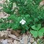 Prostrata_cunetea_-_alpine_mint_bush.jpg