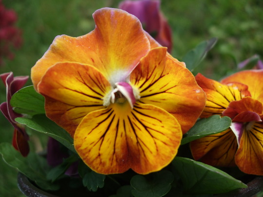 Gold Pansy