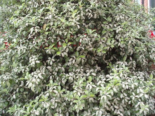 PITTOSPORUM tenuifolium 'Irene Paterson'  (PITTOSPORUM tenuifolium 'Irene Paterson')