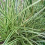 Carex brunnea 'Jenneke' (Carex brunnea)