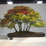 Bonsai~Acer Palmatum Deshojo~for Indy! Malvern Autumn Show 2009.