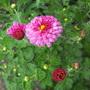 "Chrysanthemum ""Mei Kyo"""