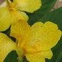 Canna indica (Canna indica (Indian shot plant))