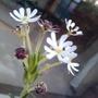 z plant (Zaluzianskya Ovata)