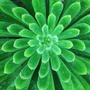 Echeveria Succulent (Echeveria)