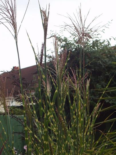 Miscanthus....Zebra Grass.