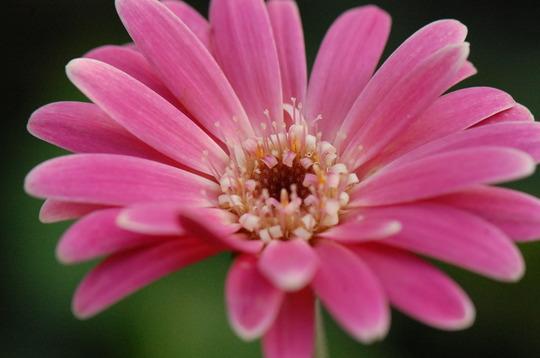 Gerbera Everlast Pink (Gerbera)