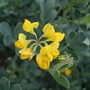Coronilla_flower