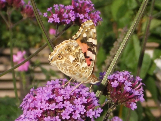 Painted Lady again