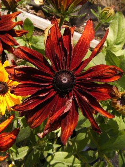 Shiny Face on a Sunny Day (Rudbeckia hirta (Black-eyed Susan))