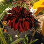The Darkest of All (Rudbeckia hirta (Black-eyed Susan))
