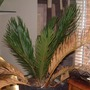 Cycad on the mend. (Cycas revoluta)