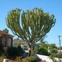 Euphorbia ingens - Candelabra Euphorbia (Euphorbia ingens - Candelabra Euphorbia)